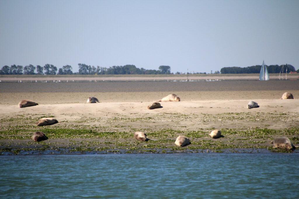 Zeehonden zonnend op een zandbank op de Oosterschelde, Zeeland.