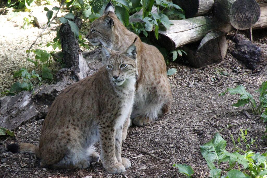 In Skansen zijn de dieren die in Zweden voorkomen te zien, zoals de lynx.