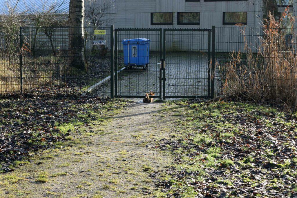 Soepel glijdt de vos onder een hek door. Dat heeft 'ie vaker gedaan.