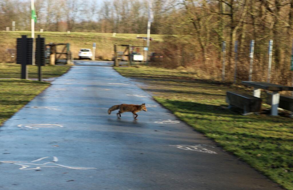 Vos steekt over bij de parkeerplaats van buitencentrum Oostvaardersplassen.