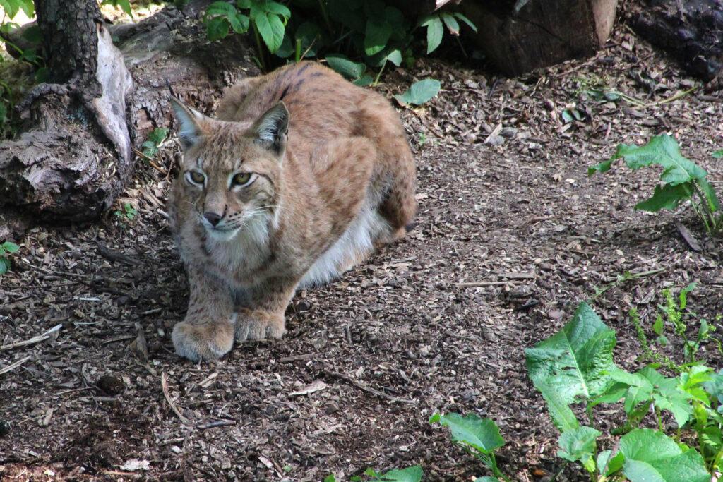 De lynx behoort tot de wildlife van Zweden die je in het wild niet snel zult spotten.