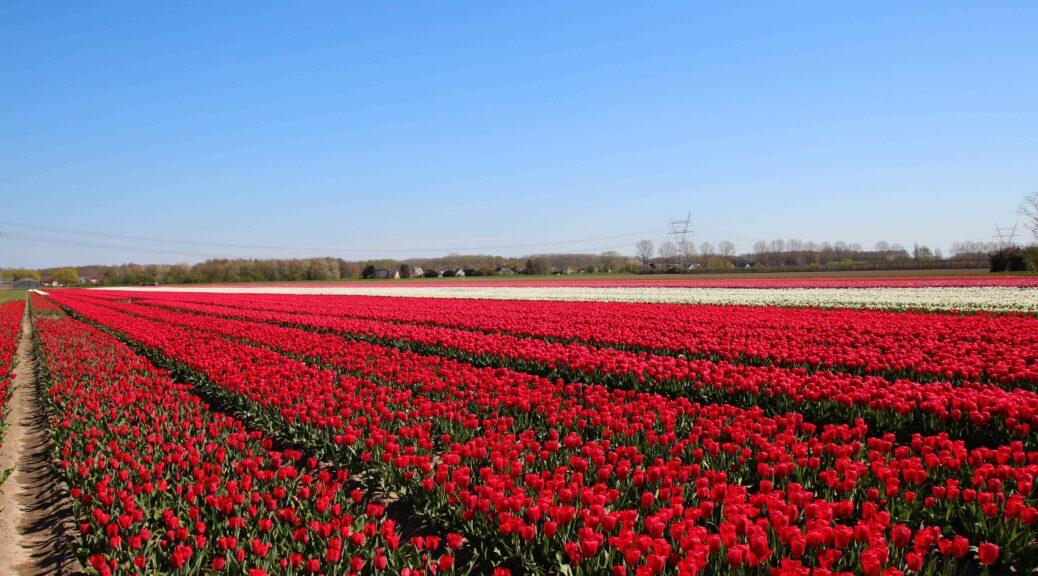 De Tulpenroute in Flevoland loopt langs de bollenvelden.