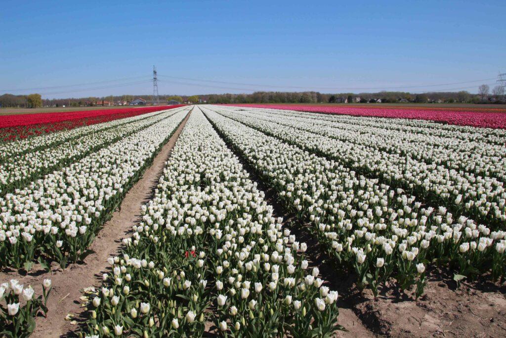 Bollenvelden in de omgeving van Swifterband en Dronten in Flevoland.