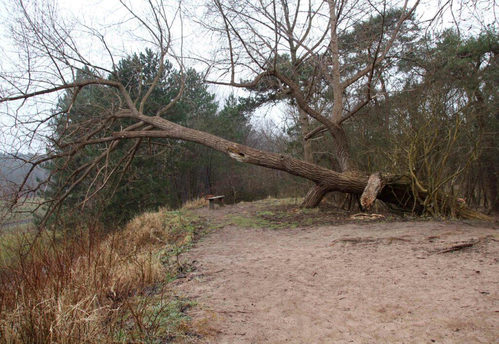 Uitkijkpunt met omgevallen boom aan het begin van het Rondje Kemperberg in NP Zuid-Kennemerland.