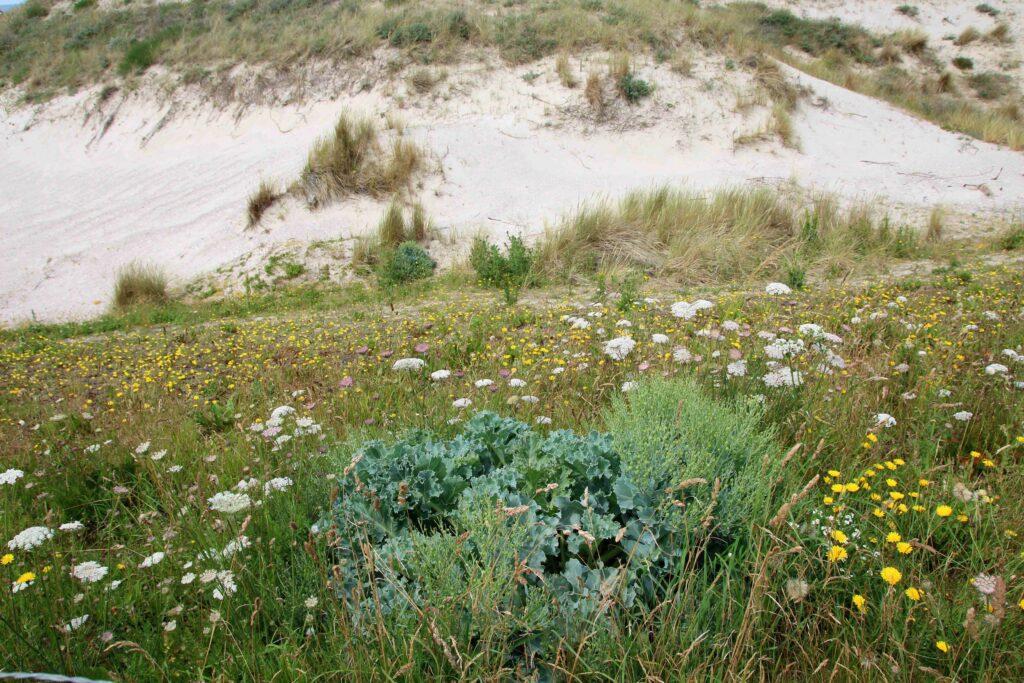 Zeekool is een plant die te vinden is in de Hondsbossche Duinen.